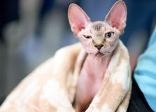 Śmieszny sphynx kot Zdjęcia Stock