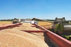 Mietitrebbiatrice nell'azione sul giacimento di grano La raccolta è il processo di riunire il raccolto maturo dai campi Fotografia Stock