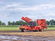 Mietitrice di DeWulf R3060 nel campo di patato al crepuscolo, riel, Paesi Bassi Fotografia Stock