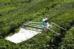 Mietitrice meccanizzata della foglia di tè Fotografia Stock Libera da Diritti