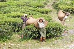 Mietitrici del tè, il Bengala Occidentale, India Fotografie Stock Libere da Diritti