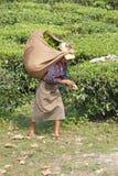 Mietitrici del tè, il Bengala Occidentale, India Immagini Stock