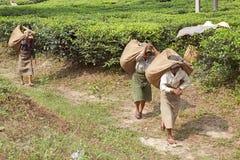 Mietitrici del tè, il Bengala Occidentale, India Fotografia Stock Libera da Diritti