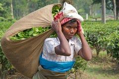 Mietitrici del tè, il Bengala Occidentale, India Immagine Stock