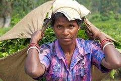 Mietitrici del tè, il Bengala Occidentale, India Immagini Stock Libere da Diritti