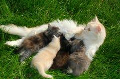 Miezekatze, die ihre Kätzchen speist Lizenzfreies Stockfoto