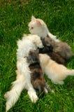 Miezekatze, die ihre Kätzchen speist Lizenzfreie Stockbilder