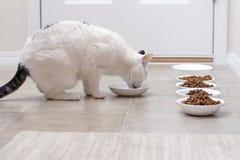 Miezekatze, die Mahlzeit isst Lizenzfreies Stockbild