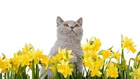 Miezekatze hinter gelben Blumen Stockfotos