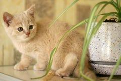 Miezekatze-Katze Stockfoto