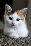 Miezekatze-Katze Lizenzfreies Stockbild