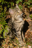 Miezekatzekatze der getigerten Katze, die heraus in der Tür der Blätter sitzt lizenzfreie stockbilder
