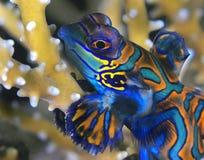 mig mandarinfish arkivfoto