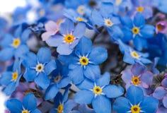 Mig-nots blommor Royaltyfria Bilder