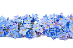 Mig-nots blommor Arkivbild