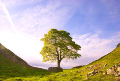 mig roman tree Arkivfoton