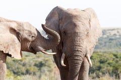 Mig smäll - afrikanBush elefant Arkivbilder
