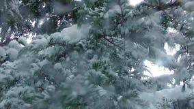 Migajas de la nieve de las ramas de la picea almacen de video