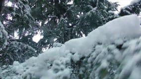 Migajas de la nieve de las ramas de la picea metrajes