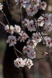 Migdałów kwiatów niebieskiego nieba wiosny sezon pączkuje pszczoły zdjęcia stock
