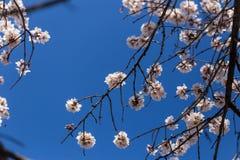 Migdałów kwiatów niebieskiego nieba wiosny sezon pączkuje pszczoły obraz stock
