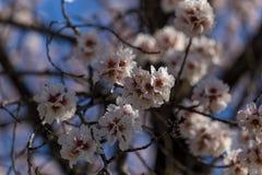 Migdałów kwiatów niebieskiego nieba wiosny sezon pączkuje pszczoły obrazy royalty free