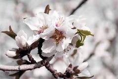 Migdałów kwiaty kwitną w modnym miękkim tonowaniu i projektują na zamazanym tle Wiosny drzewo z kwiatami i pączkami Fotografia Stock