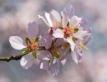 migdałów tła gałąź kwiecenia odosobniony biel Fotografia Stock