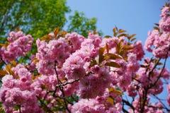 Migdał kwitnie w wiośnie, jaskrawa menchia w pełnym kwiacie obrazy stock
