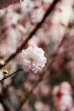 Migdał menchia kwitnie z miękkim tłem Fotografia Stock