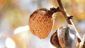 Migdał w gałąź migdałowy drzewo zdjęcie wideo