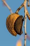 Migdał w migdałowym drzewie Fotografia Royalty Free