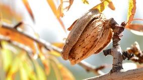 Migdał z skorupą w drzewie zbiory
