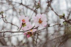 Migdałowe kwiat menchie kwitną wczesnej wiosny kwitnącego tło Zdjęcie Stock