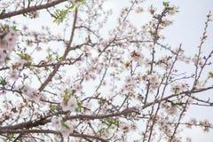 Migdałowego drzewa okwitnięcia tła kwiatu i gałąź wczesnej wiosny sezonowa roślina Obraz Stock