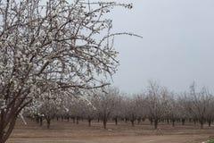Migdałowego sadu Biali Migdałowi drzewa kwitną wczesnego wiosny kwitnienie Zdjęcie Royalty Free