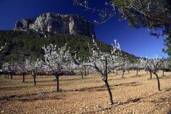 migdałowi drzewa Zdjęcia Royalty Free
