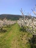 Migdałowi drzewa kwitną na wiośnie zdjęcie royalty free