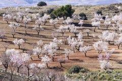 Migdałowi drzewa w pełnym kwiacie Zdjęcie Stock