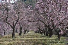 Migdałowi drzewa w sadzie zakrywającym w menchiach kwitną fotografia royalty free