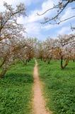 migdałowi kwitnący drzewa fotografia stock