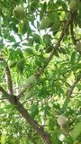 Migdałowy drzewo fotografia royalty free