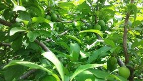 Migdałowy drzewo zdjęcia stock
