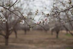 Migdałowy drzewo kwitnie gaju tło i rozgałęzia się Obraz Stock