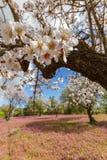 Migdałowy drzewo kwitnie na gałąź strzelającej w wczesnej wiośnie w Cypr Zdjęcia Stock
