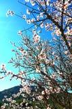 Migdałowy drzewo kwitnie przy wiosną Zdjęcie Royalty Free