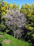 Migdałowy drzewo w okwitnięciu fotografia royalty free