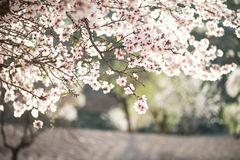 Migdałowy drzewo w okwitnięciu zdjęcia stock