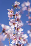 Migdałowy drzewo w pełnym kwiacie Zdjęcia Royalty Free