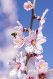 Migdałowy drzewo w pełnym kwiacie i pszczole Fotografia Royalty Free
